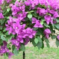 Bougainvillea as a Standard