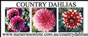 Country Dahlias