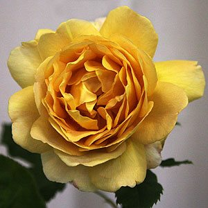 David Austin Rose - Golden Celebration