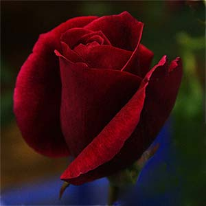Red Rose - Mr Lincoln