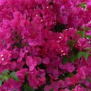 Red-Bougainvillea-Flower