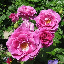 Rosa 'Melodie Perfumée'