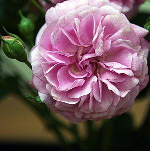 Rose Lavender Lassie