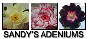 Sandys Adeniums