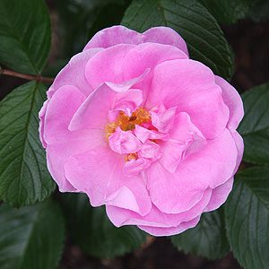 Sarah van fleet - Rugosa Rose