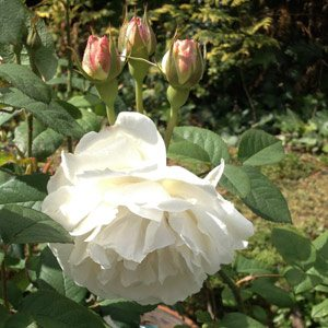Winchester Cathedral Rose