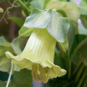 Cobea scandens alba