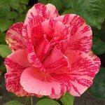 Rose Finder