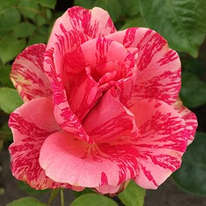 Delbard Rose 'Pink Intuition'