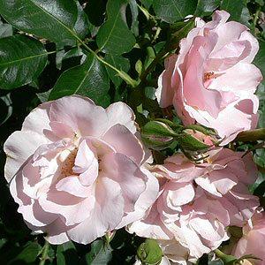 'Rosendorf Sparrieshoop' Rose.