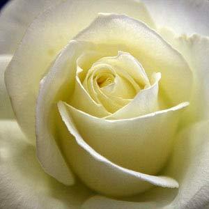 Hybrid Tea Rose