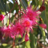Corymbia ficifolia 'Summer Red'