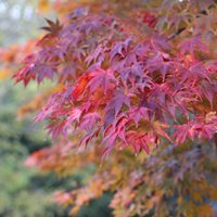 Japanese Maples for 'Brilliant Autumn Colour'
