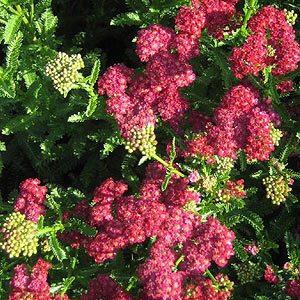 Red flowering Achillea