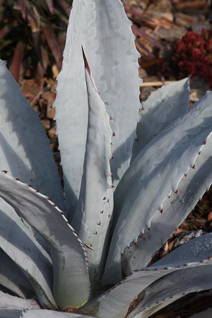 Agave franzosini 'Grey Ghost'