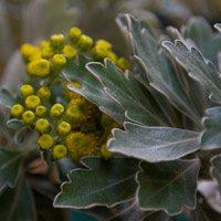 Ajania pacifica 'Pacific Chrysanthemum'