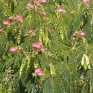 Albizia julibrissin or 'Silk Tree'