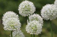Allium Mt everest