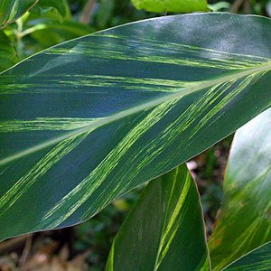 Alpinia-zerumbet-variegata