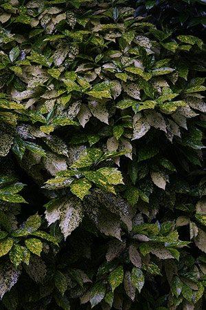 Aucuba japonica the Gold Dust Plant