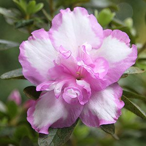 Azalea plant in flower