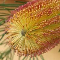 Banksia-Plant