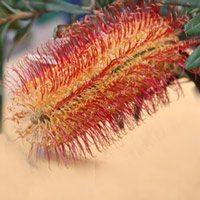 Banksia-occidentalis