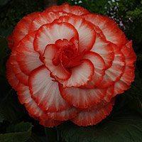 Tuberous Begonia Flower