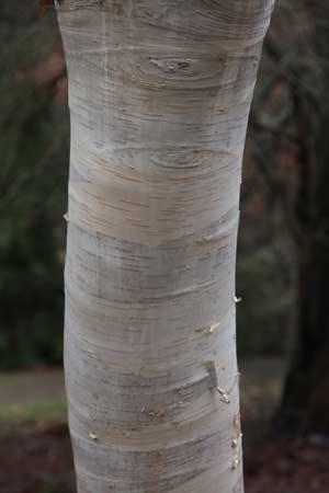 Betula utilis var jacquemontii
