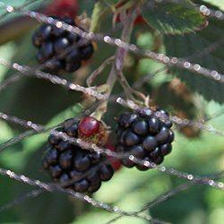 Blackberries-Thornless