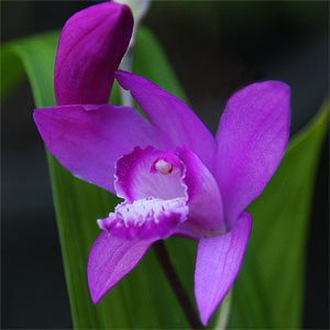 Bletilla striata the Chinese Ground Orchid
