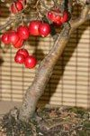 Bonsai Tree (Malus)