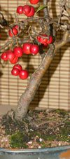 Bonsai Tree (Malus)