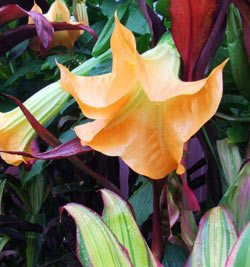 Brugmansia Bucks Fizz and Tropical Foliage Plants