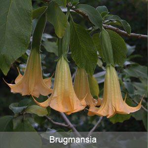 Brugmansia Flower