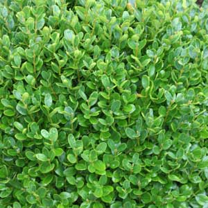 How To Plant Box Hedging Buxus Nurseries Online