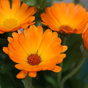 'Pot Marigold' is Calendula officianalis