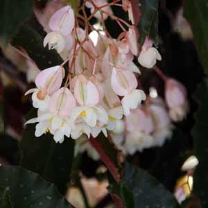 Cane Stem Begonia White