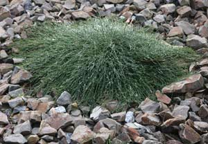 Casuarina-glauca-prostrate-young-plant