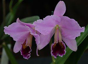Cattleya percivaliana