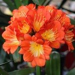 Clivia Plants – Nurseries Online