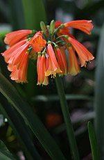 Clivia-Flower