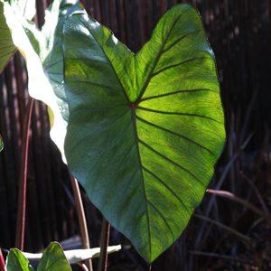 Colocasia esculenta antiquorum