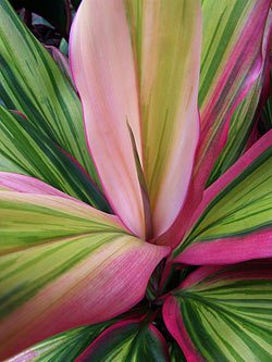 Tropical Foliage Cordyline