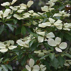 Cornus capitata the Evergreen Dogwood
