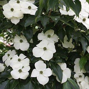 Cornus or Dogwood Tree in Flower