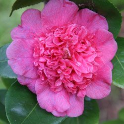 Camellia Japonica Donna-Herzilla-De.-Freitas-Magalhaes