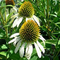 echinacea purpurea 39 purple cone flower 39 and other species. Black Bedroom Furniture Sets. Home Design Ideas