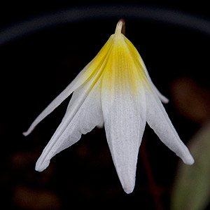 Erythronium-helenae