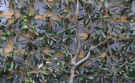 espalier fruit trees - olive